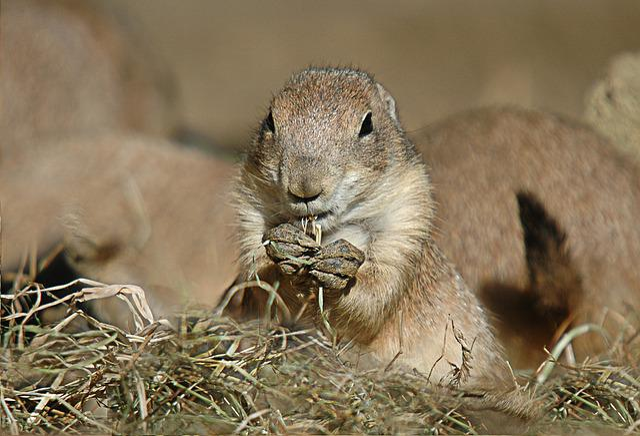Prairie Dog, Rodent, Animal, Black-tailed Prairie Dog