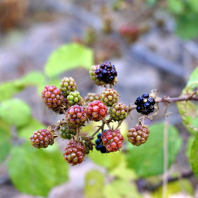 Blackberries, Berries, Red, Fruit, Wild, Blackberry