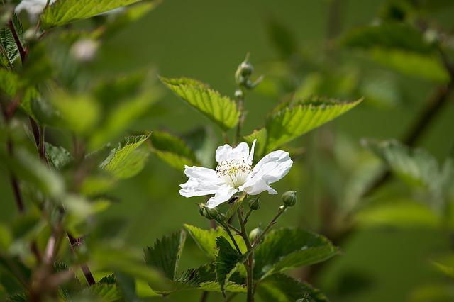 Blackberry, Bramble, Blossom, Bloom, White, Spring