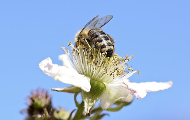 Bee, Insect, Close, Flowers, Honey Bees, Blackberry