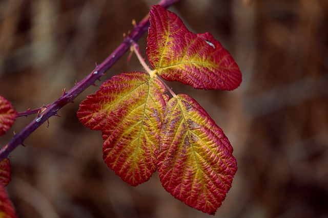 Blackberry Leaves, Fall Color, Rubus Sectio Rubus