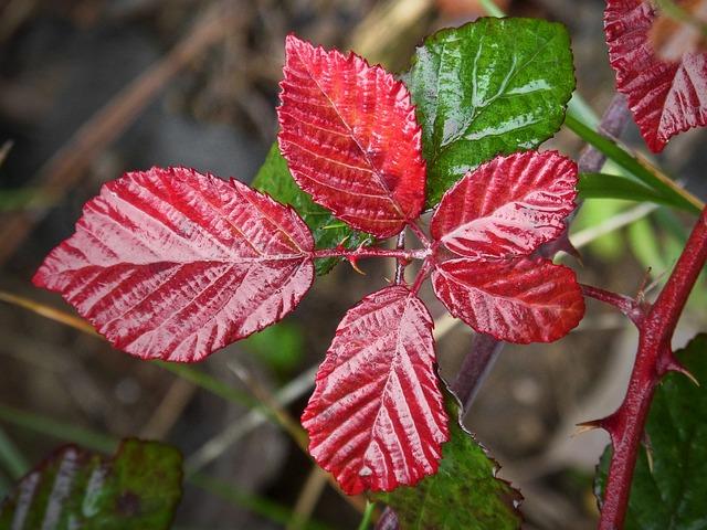 Leaf, Red Leaf, Moisture, Blackberry, Autumn