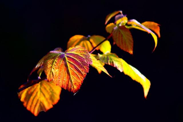 Blackberry Vine, Leaves, Back Light, Autumn