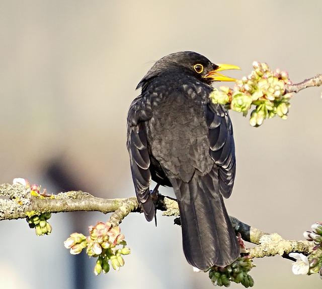 Blackbird, Bird, Songbird, Males, Black, Animal
