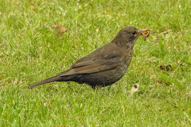 Blackbird, Blackbird Female, Worm, Eat, Nature, Bird