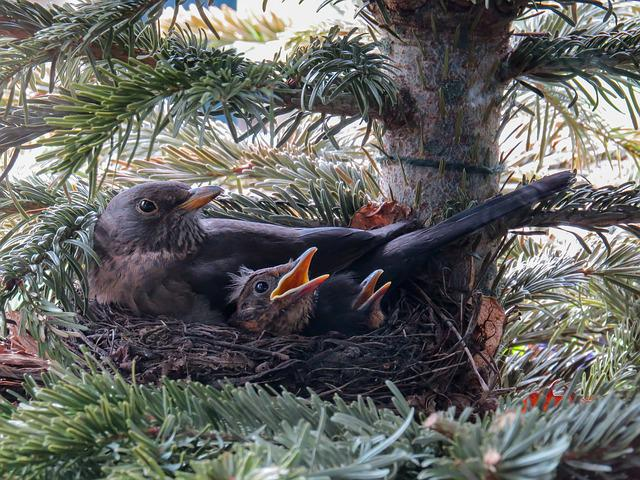 Bird, Blackbird, Nest, Bird's Nest, Blackbird Nest