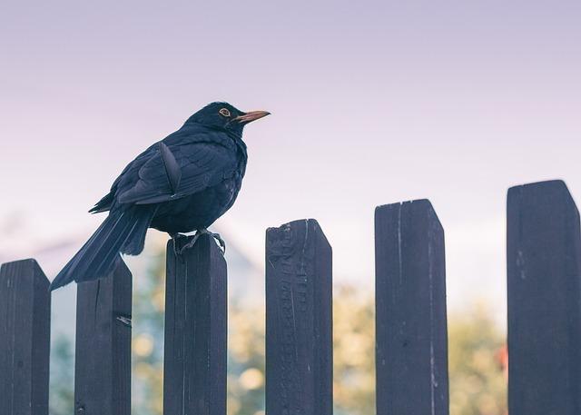 Bird, Nature, Sky, Fence, Twilight, Blackbird