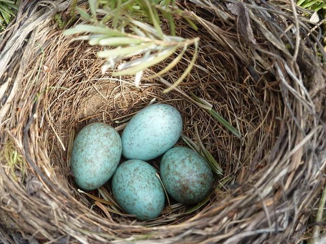 Blackbird Nest, Blackbird, Egg, Nest, Bird's Nest, Bird