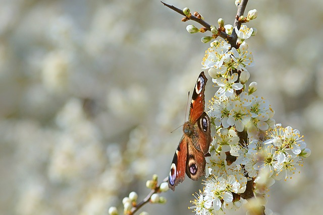 Butterfly, Peacock Butterfly, Blackthorn, Spring