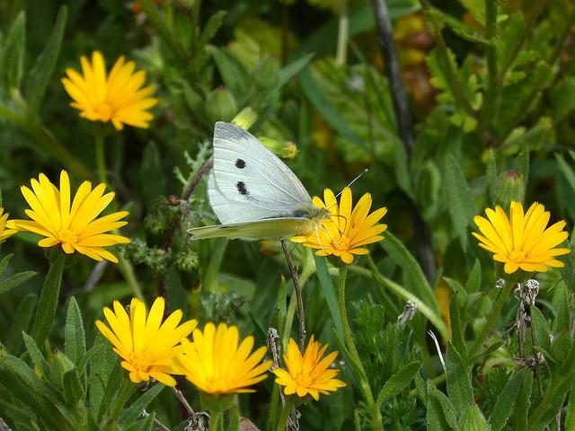 Pieris Rapae, Blanquita Of Cabbage, Butterfly, Flowers