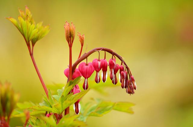 Nature, Flower, Plant, Leaf, Garden, Bleeding Heart