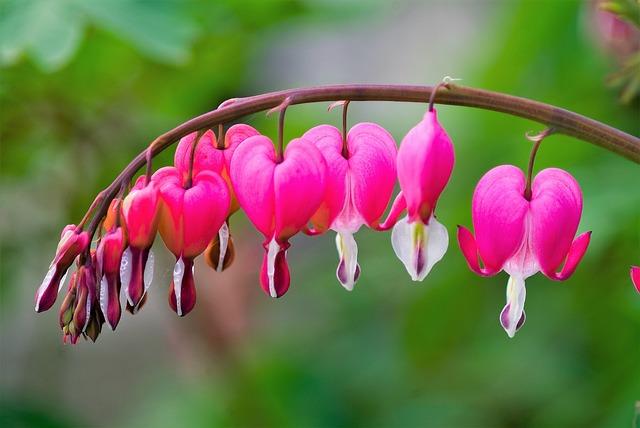 Nature, Flowers, Bleeding Heart, Spring