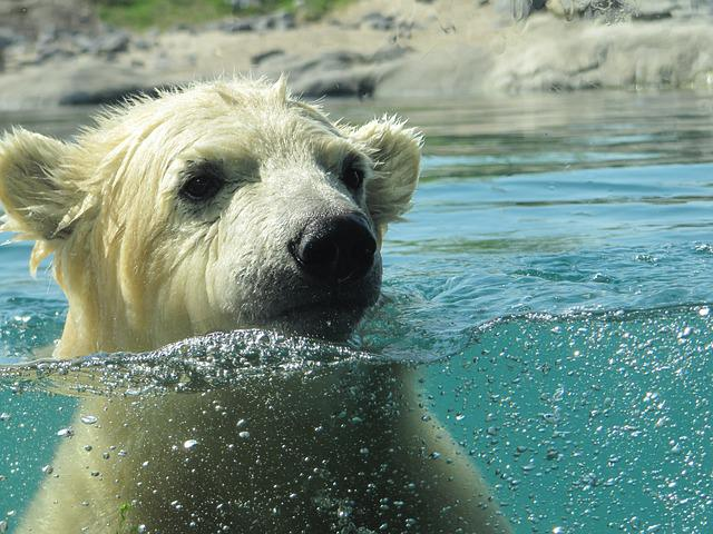 Polar Bear, Vicks, Rotterdam, Blijdorp, Zoo, Swims