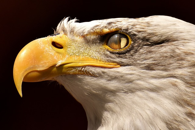 Adler, Bald Eagle, Blink, Eye, Protection, Bird, Raptor