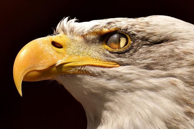 Adler, Bald Eagle, Blink, Eye, Protection, Bird, Raptor