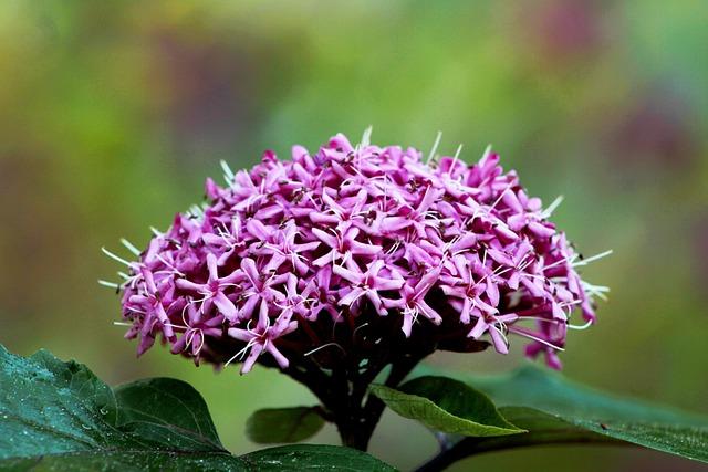 Clerodendrum Bungeii, Autumn, Bloemscherm, Pink