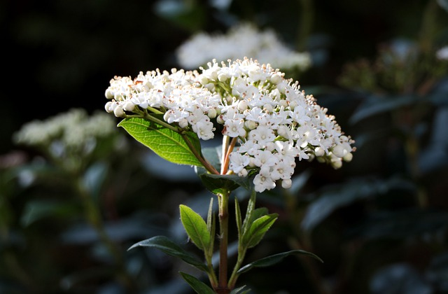 Viburnum Tinus, Snowball, Bloemscherm, White, Stamens