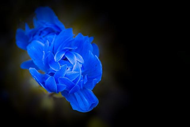 Anemone, Blue, Blue Anemone, Blossom, Bloom, Petals
