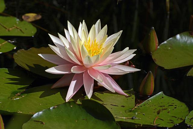 Water Lily, Aquatic Plant, Blossom, Bloom, Pond, Water