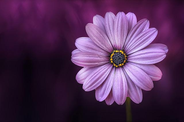 Flower, Purple, Lical, Blosso, Beautiful, Beauty, Bloom