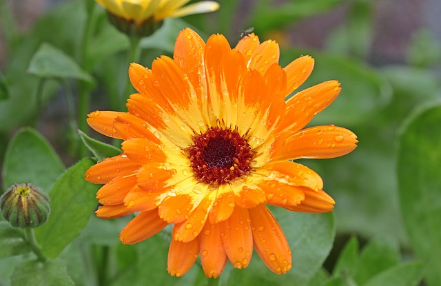 Marigold, Calendula, Blossom, Bloom, Bi Color