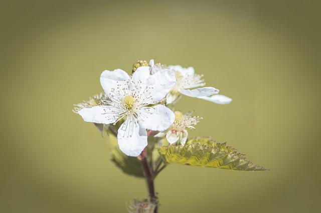 Blossom, Bloom, Blackberry, White, White Flowers