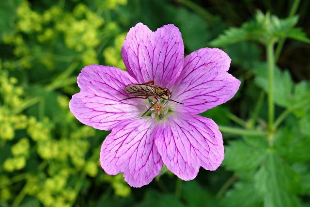 Bloody Geranium, Geranium Sanguineum, Flower, Bloom