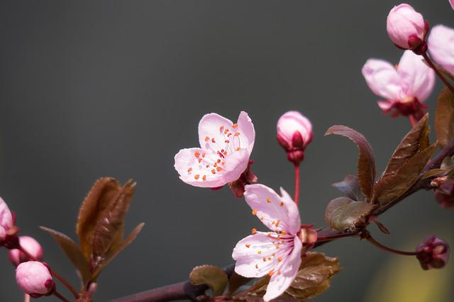 Blood Plum, Cherry Plum, Blossom, Bloom, Bloom, Branch
