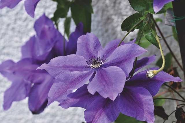 Clematis, Climber Plant, Blossom, Bloom, Bloom, Flower