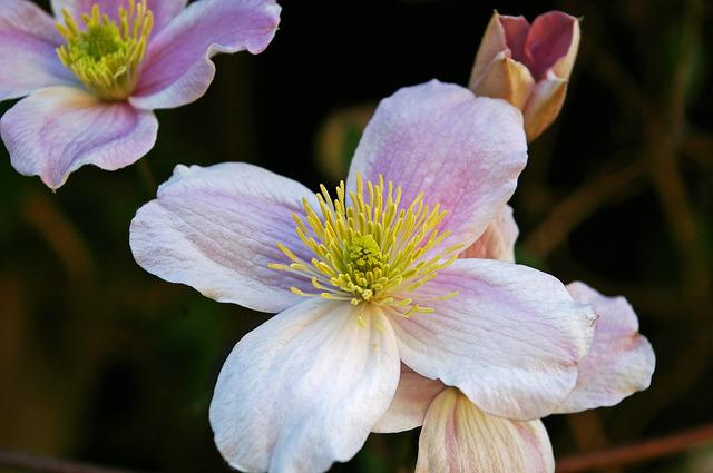 Clematis, Blossom, Bloom, Bloom, Flower, Close, Pink
