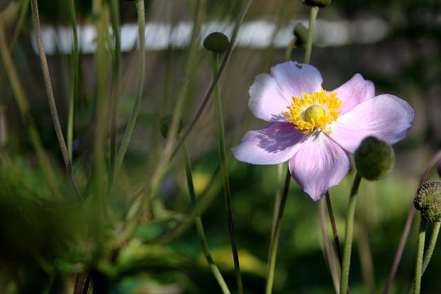 Anemone Hupehensis, Blossom, Bloom, Flower