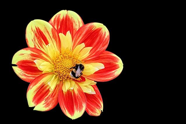 Dahlia, Hummel, Blossom, Bloom, Autumn, Garden
