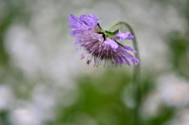 Flower, Blossom, Bloom, Raindrop, Dew, Beauty, Purple