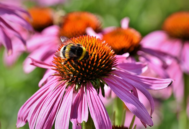 Hummel, Insect, Nectar, Blossom, Bloom, Flower, Bloom