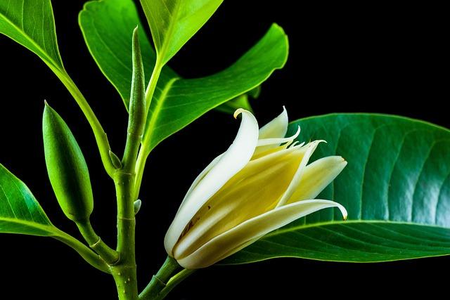 Michelia Champaca, Blossom, Blossom, Bloom