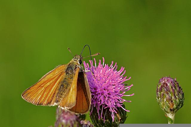 Butterfly, Blossom, Bloom, Thistle, Nature, Garden