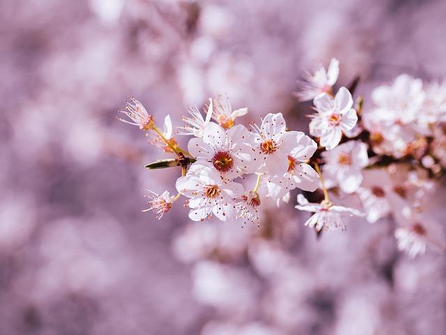 Cherry Blossom, Blossom, Bloom, Cherry Tree, Bloom