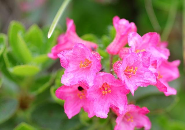 Ciliated Alpenrose, Alpine Rose, Bluem, Blossom, Bloom