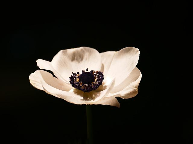 Anemone, Blossom, Bloom, Crown Anemone, White, Bloom