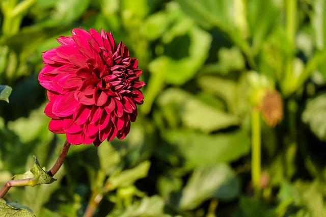 Dahlia, Flower, Blossom, Bloom, Bloom, Fiery