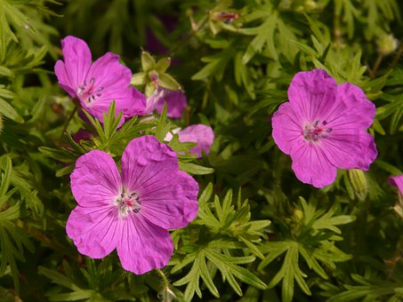 Bloody Cranesbill, Cranesbill, Blossom, Bloom, Flower