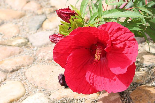 Hibiscus, Giant Hibiscus, Red, Blossom, Bloom, Flower