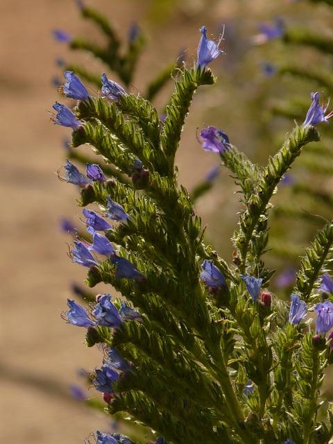 Ordinary Natternkopf, Flower, Blossom, Bloom