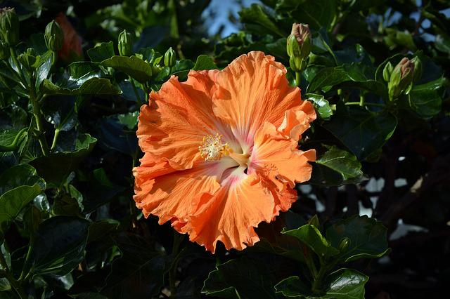 Hibiscus, Blossom, Bloom, Flower, Nature, Plant
