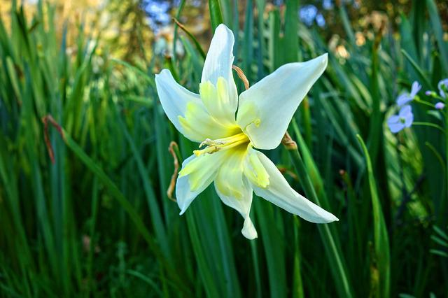 Star Of Bethlehem, Flower, Plant, Blossom, Bloom