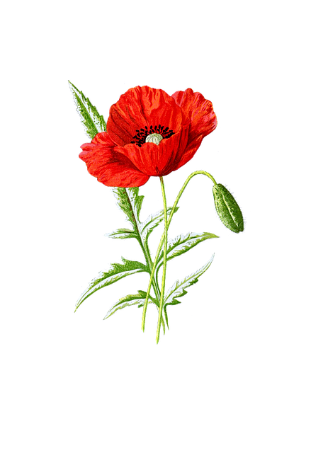 Poppy, Flower, Blossom, Bloom, Red, Isolated, Vintage