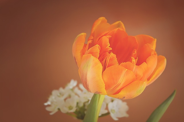 Tulip, Flower, Blossom, Bloom, Orange, Petals