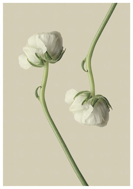 Ranunculus, White, Flower, Blossom, Bloom