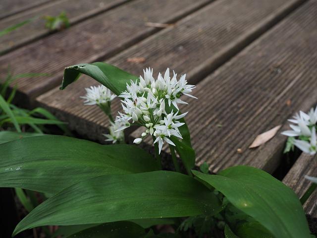 Bear's Garlic, Inflorescence, Blossom, Bloom, White