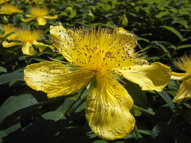 Large Cup St John's Wort, Flower, Blossom, Bloom